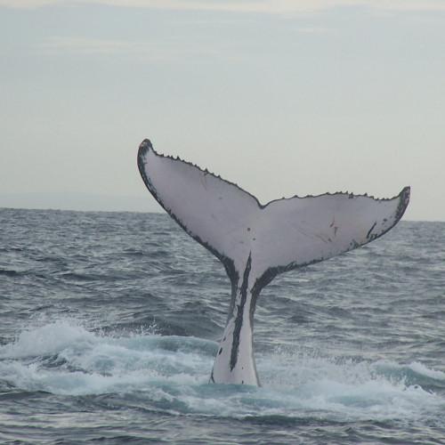 Suojele arktisia valaita vedenalaiselta melulta